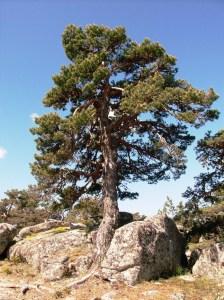 Enebro en la Sierra de Guadarrama